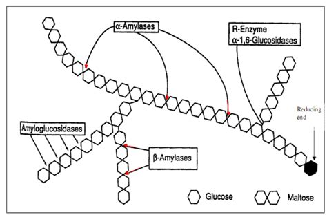 alpha amylase amylose digestion picture 5