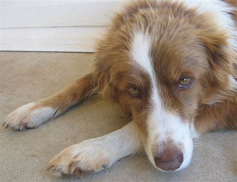 canine hypothyroidism picture 15