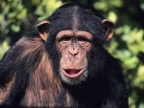 skin color in chimpanzees picture 6