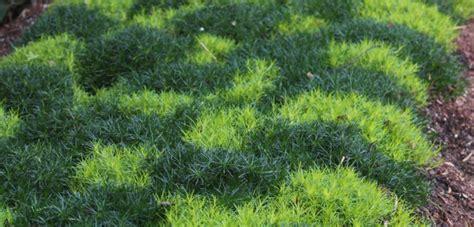 where to plant irish moss picture 11