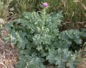milk thistle herb picture 1