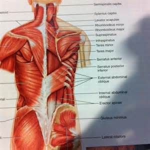 deep back muscle mustavius picture 1