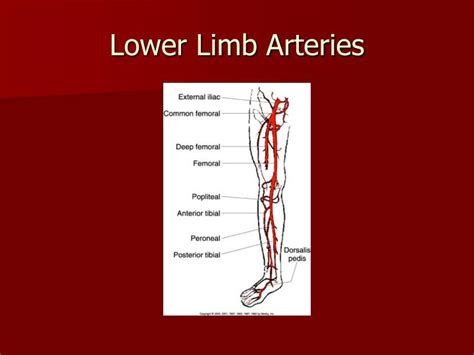 lower leg artery anatomy on web md picture 4