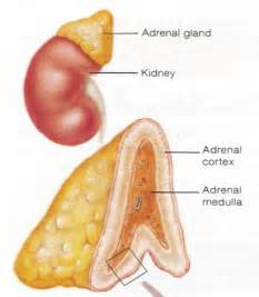 calcium and thyroid glands picture 19