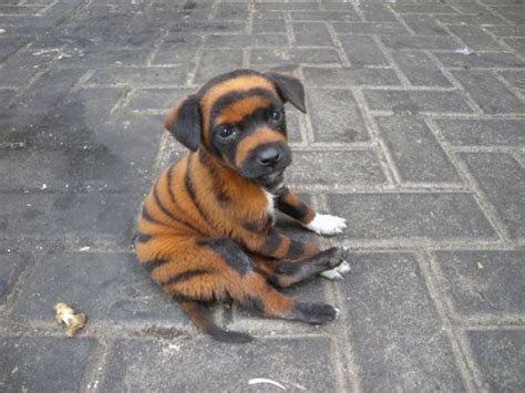 bengal gel picture 5