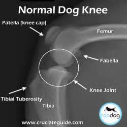 stifle knee joint sprain in dogs picture 9