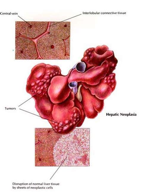 canine liver disease picture 7