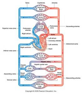 flowchat betweeen the blood circulatory system and the picture 9