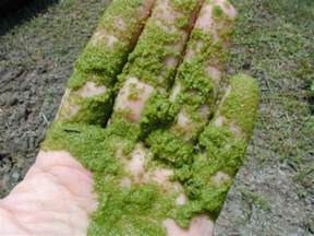 ponds bacterial control of algae picture 3