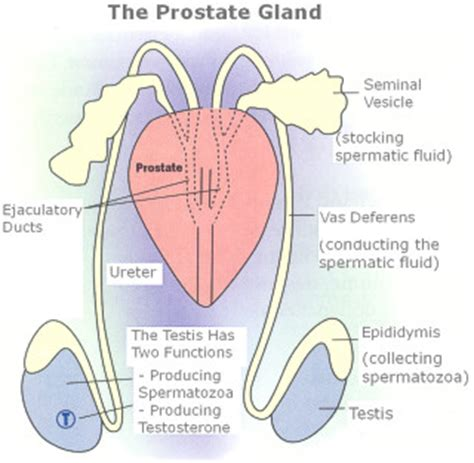 Purpose of the prostate picture 2