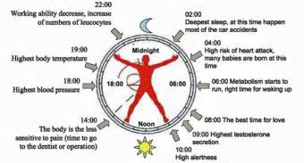 human sleep cycles picture 5