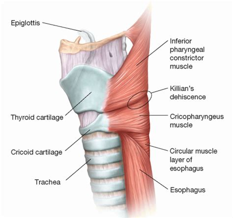 cricopharyngeal muscle picture 2