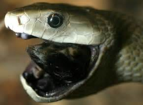 black mamba snake for sale picture 1