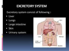 human urinary system picture 5