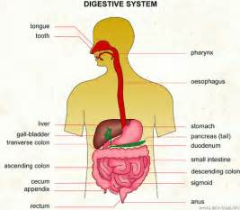 digestive system picture 6