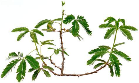 ano ang gamot na herbal sa may fatty picture 6