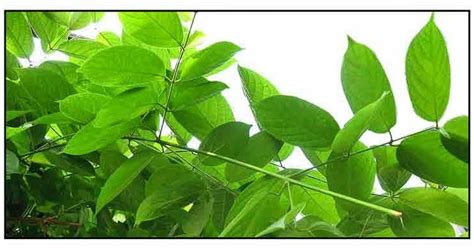 herbal plants in the philippines and their uses picture 7