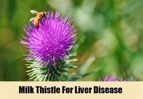 milk thistle help liver disease picture 1