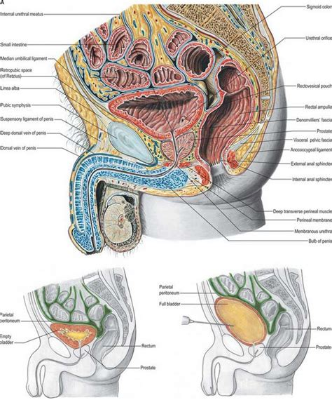 filling male bladder picture 5