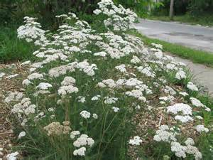 yarrow picture 18