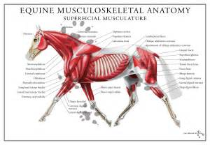 horse muscle system picture 5