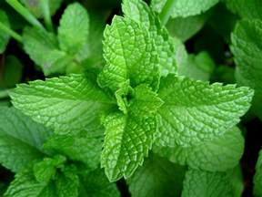 is the peppermint tea good for the colon? picture 2