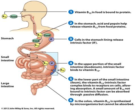 digestion of vitamins picture 14