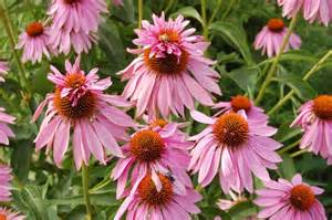 double decker echinacea picture 3