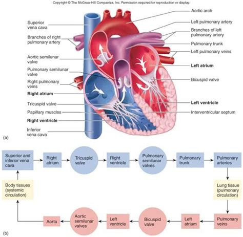 Blood flow to front of heart picture 4