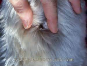 knot growing on dogs skin picture 7