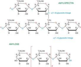 alpha amylase amylose digestion picture 10