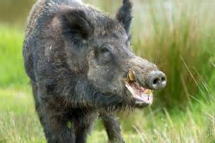 wild boar aging picture 6