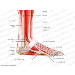 ankylet muscle picture 6