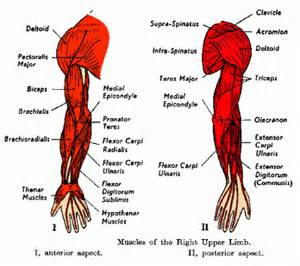 arm shoulder muscle pain picture 9