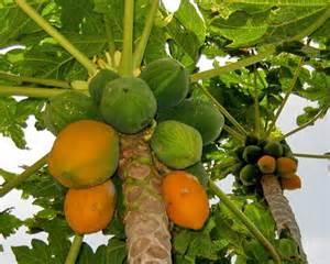 growing papaya trees picture 5