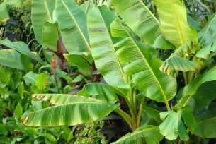 banana leaf liver failure picture 11