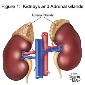 adrenal gland picture 14