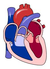 animation of the heart blood flow picture 7