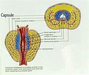 Prostatic ultrasound yfantis benson picture 13