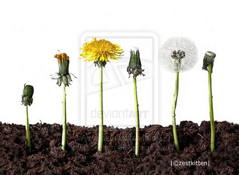 pictures of dandelion growth cycle picture 2