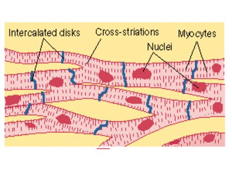 cardiac muscle picture 7