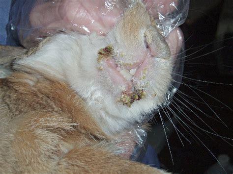 domestc rabbit skin diseases picture 3