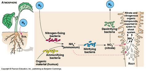 bacterial role in nitrogen cycle picture 1