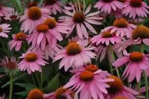 echinacea purpurea picture 13