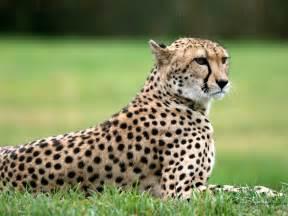 do cheetahs sleep picture 3