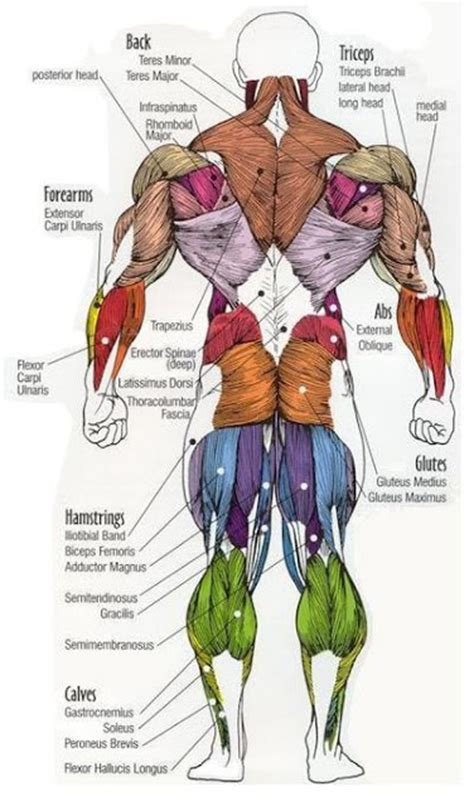 diagram of body muscle picture 7