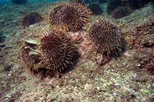 is sea urchin high in fats and cholesterol? picture 6