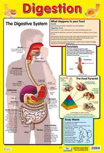 top digestive system picture 7