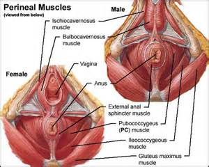 flhow can i locate where my pc muscle picture 2