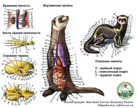 ferret digestion picture 1